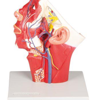 Headmodels-medstore