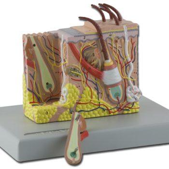 anatomicalmodels-ireland