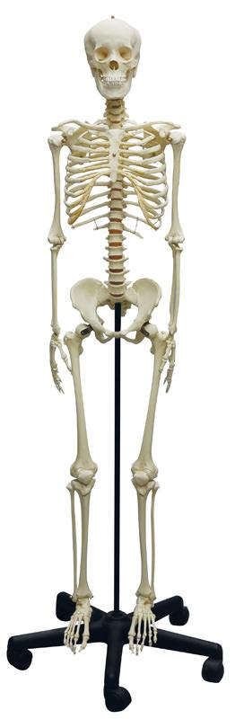 anatomicalmodels-medstore
