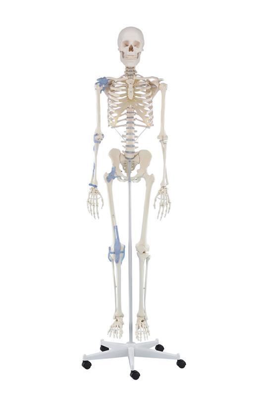 anatomicalmodels-medstroe