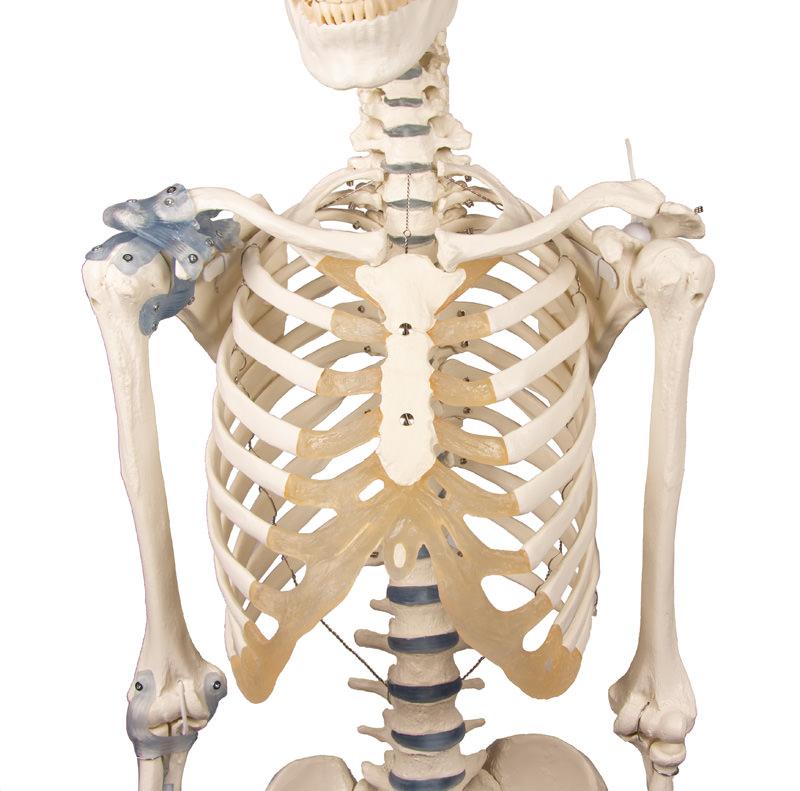 anatomicalmodels-medsitr