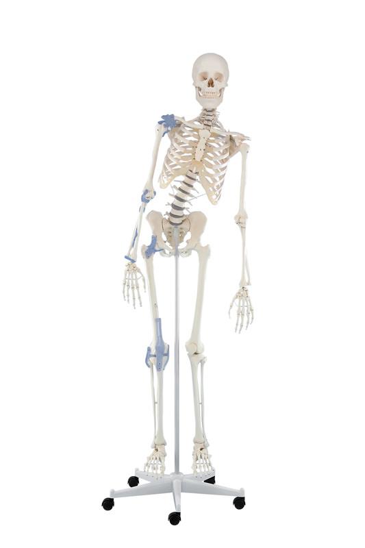 anatomicalmoels-medstore