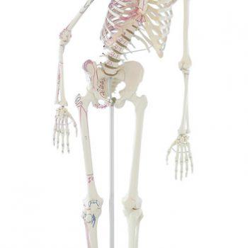 anatomicalskeletonmodels-medstore