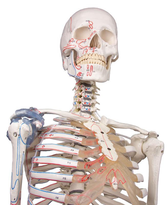 skeletons-medstore