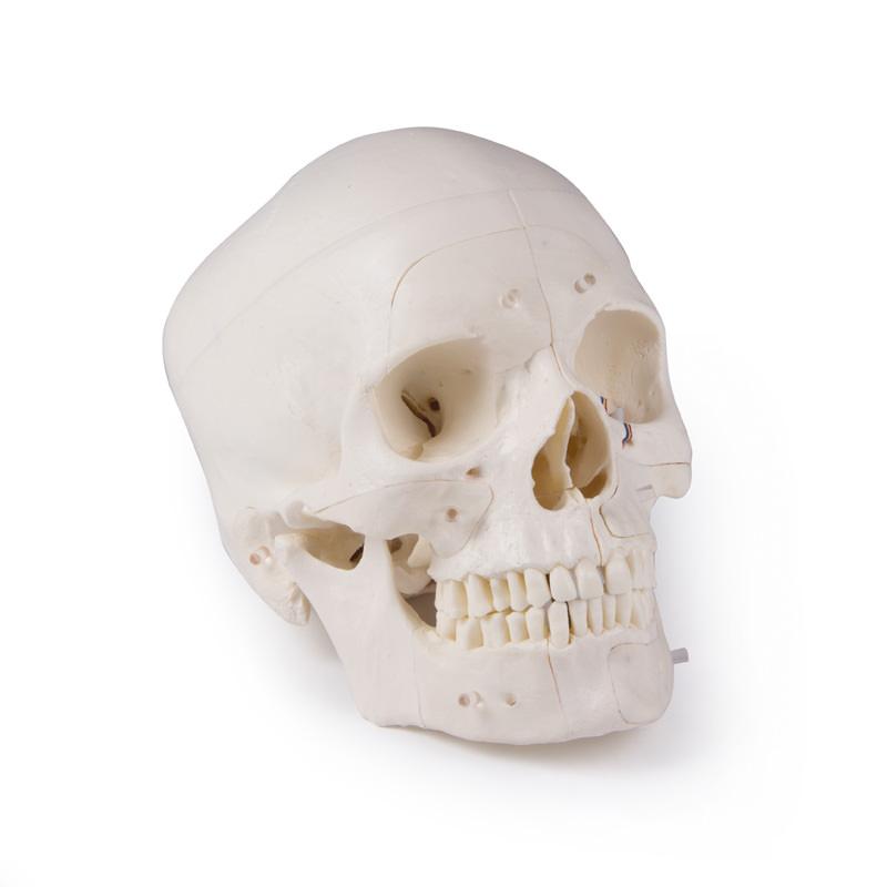 skull models-medstore