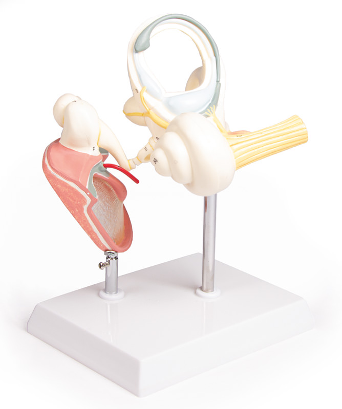 anatomicalmodels.medstore.ie