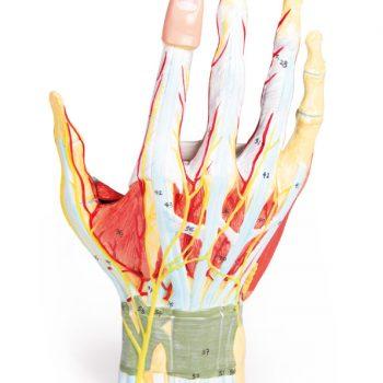 anatomicalmodels-medstre