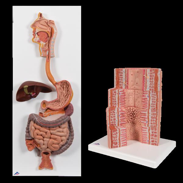 digestivemodels-medstore