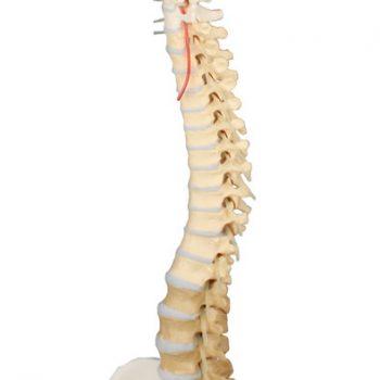 spinalmodels.medstore.ie