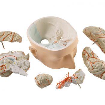anatomicalmodels-ie