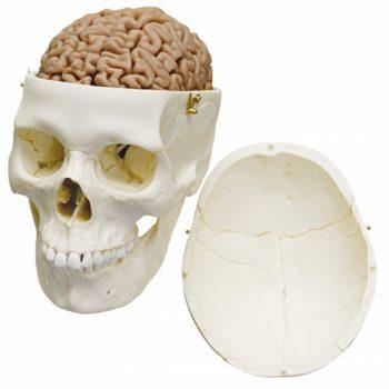 brainmodels-medstore.ie