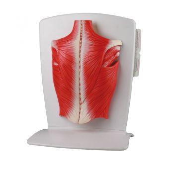 backmuscles-medstore.ie