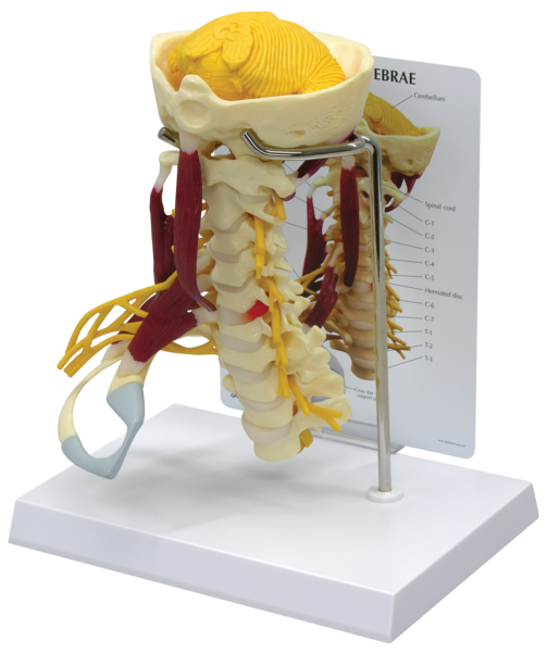 anatomicalmodesl-medstore.ie