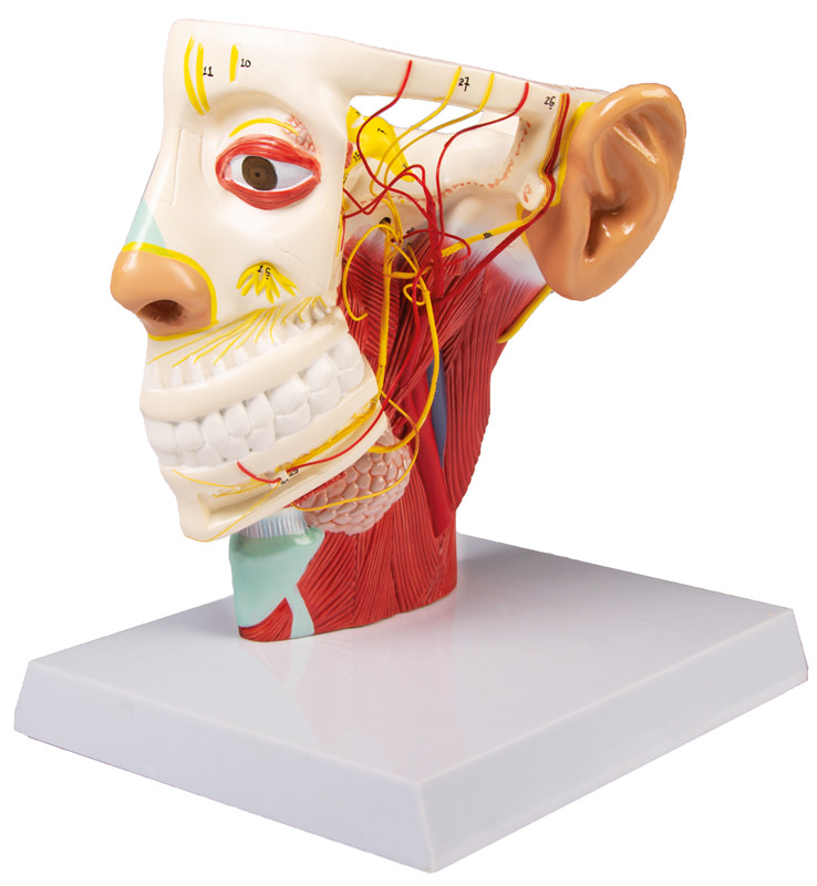 anatomicalmodels-medstore.ie