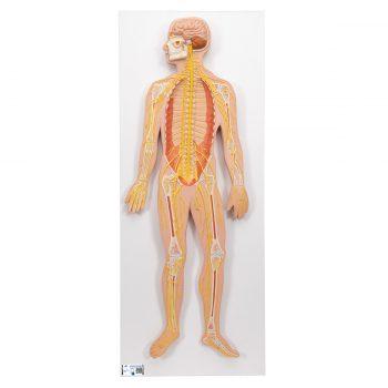 nervoussystem-medstoe.ie