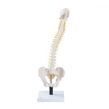 spinalmodels-medstore.ie
